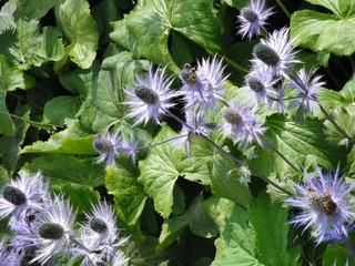 cardi azzurri - Eryngium alpinum