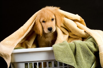 Puppy in a laundry basket