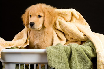Golden Retriever Puppy in Laundry Basket
