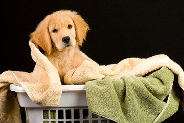 Puppy in laundry basket