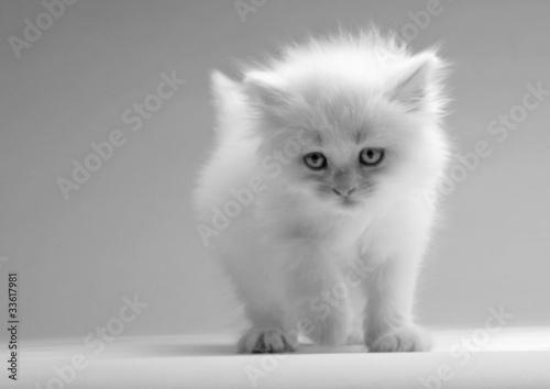 Zdjęcia na płótnie, fototapety na wymiar, obrazy na ścianę : Cute white kitten