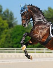 Dressage: bay Hanoverian horse rearing
