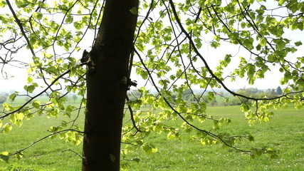 Beech leaves swaying in the wind in springtime