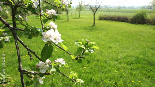 Close up of white apple blossoms swaying with the wind