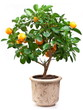 Small tangerines tree
