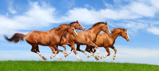 Four sorrel stallions gallop
