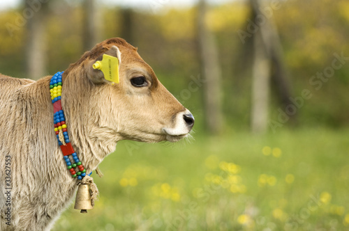 Young cow calf in the meadow