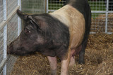 British rare breed Saddleback pig