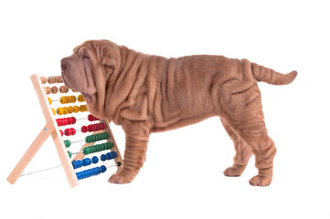 Sharpei puppy playing with abacus