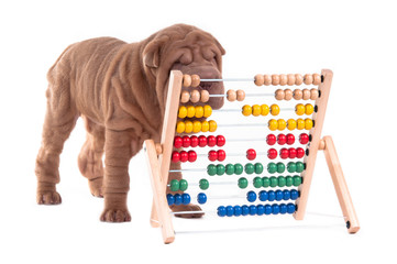 Smart sharpei puppy is learning how to count