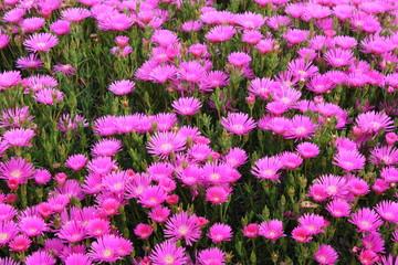 Field of wild violet flowers