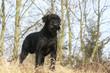 schnauzer géant debout de profil en forêt