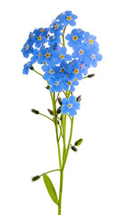 forget-me-not flowes isolated on white