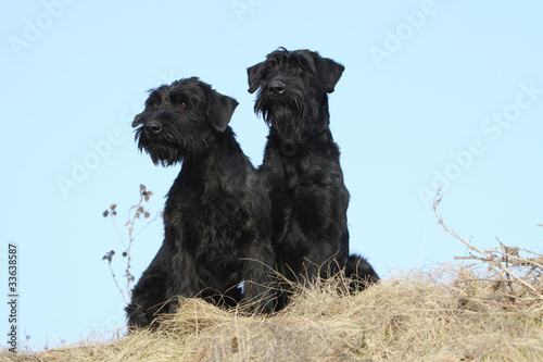 couple de schnauzers géants