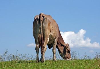 Eine glückliche Kuh in Freiheit auf einer Wiese im Allgäu