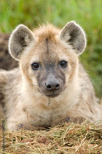 Papiers peints Hyène Hyena close up