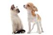 chiot chihuahua et chaton siamois