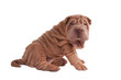 Wrinkled shar-pei puppy sitting isolated on white background