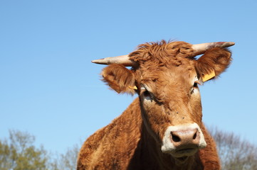 Limousin Cow Head Portrait