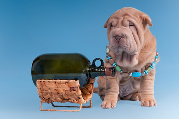 Bad habit - sharpei puppy with empty bottle of alcohol