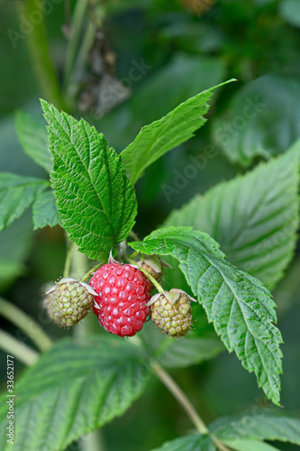 Closeup of a ripening raspberry