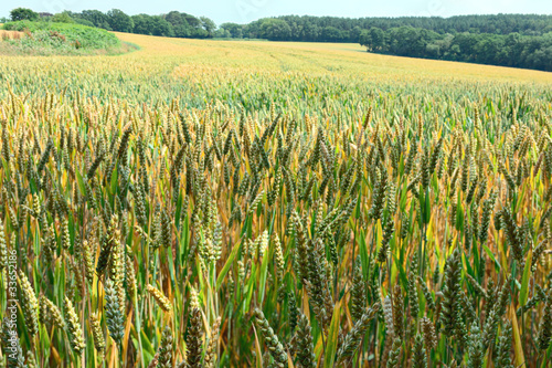 Field of ripening ears of wheat