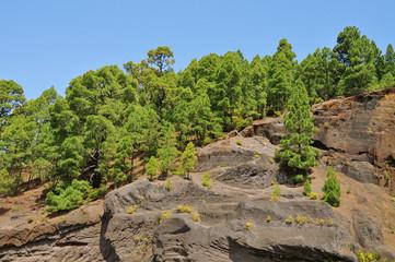 pine grove in Teide National Park, Tenerife, Canary Islands, Spa