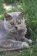 chaton dans l'herbe - cat on the grass - british shorthair