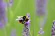 Early Bumble bee ,Bombus pratorum