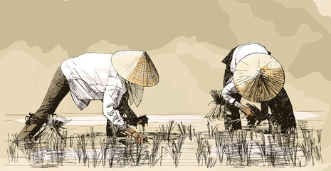 Two women harvesting rice in asia