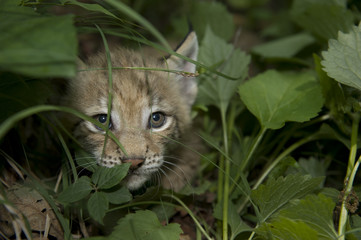 lynx,  kitten  of lynx,  child  of lynx