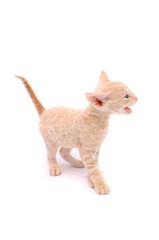 Mewing Cornish Rex Kitten Isolated on White Background