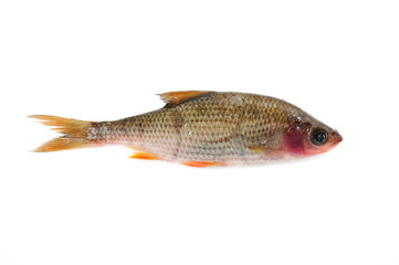 Sick Roach Fish (Rutilus Rutilus) Isolated on White Background