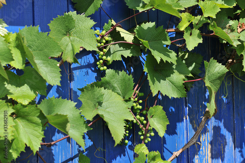 grapes in summer