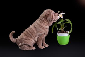 Sharpei puppy sniffing white flower in green flowerpot
