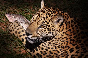 Jaguar And Fish