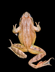 Frog 25
