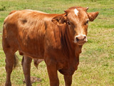 australian beef cattle, young hereford angus cross bred cow poster