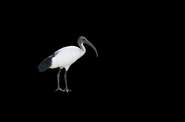 A beautiful Australian White Ibis