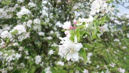Close up of  a branch with apple blossoms swaying with the wind