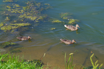 Ducks in the lake in summer, Kuzminki, Moscow, Russia