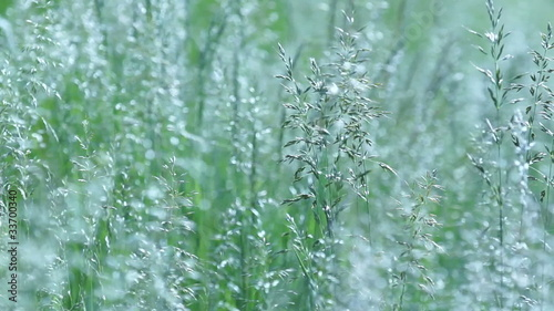 Close up of silvery wild grasses swaying with the wind