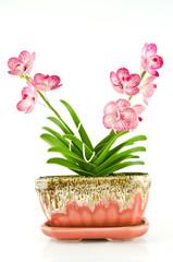 Cat Pariya orchids Ping model in thai