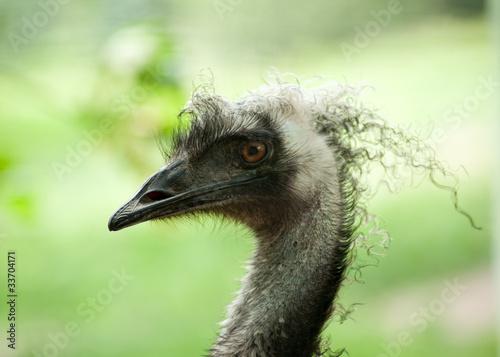 Fototapeten,emu,profile,vögel,australien