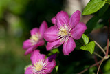 Purple flowers - Clematis