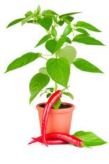 Chili pepper plant growing in ceramic pot and chili pepper