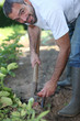 Man digging a vegetable patch with a fork