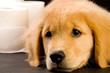 comfortable golden retriever puppy