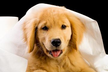 happy golden retriever with soft toilet paper