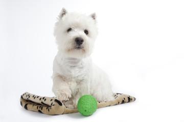 chien blanc poussant sa balle avec la patte - westie